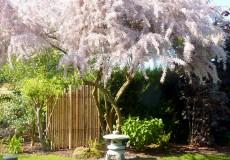 Tamaris en fleur, lanterne japonaise, panneau bambous, Bures-sur-Yvette
